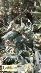 Bushcraft grey saltbush